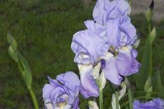 Nice iris Stock Images