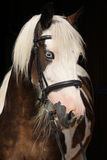 Nice irish cob on black background Royalty Free Stock Image