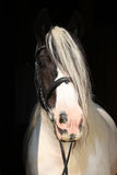 Nice irish cob on black background Royalty Free Stock Photos