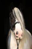 Nice irish cob on black background Royalty Free Stock Photos
