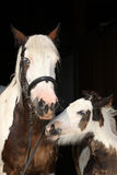Nice irish cob with foal on black background Stock Photography