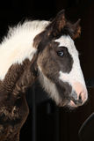 Nice irish cob foal on black background Royalty Free Stock Photography