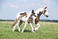 Nice irish cob mare with foal on pasturage Royalty Free Stock Photos