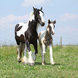 Nice irish cob mare with foal on pasturage Royalty Free Stock Image