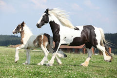 Nice irish cob mare with foal on pasturage Stock Photo