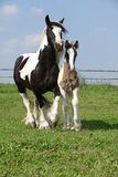 Nice irish cob mare with foal on pasturage Royalty Free Stock Photo