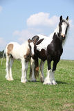 Nice irish cob mare with foal Stock Images
