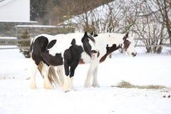 Nice irish cob mares in winter Royalty Free Stock Photo