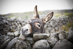 Nice Irish Donkey Behind A Stone Wall Royalty Free Stock Photos