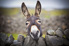 Nice Irish Donkey Behind A Stone Wall Royalty Free Stock Image