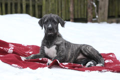 Nice Irish Wolfhound lying on blanket in winter