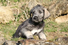 Nice Irish Wolfhound puppy Stock Photography