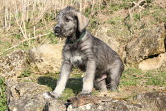 Nice Irish Wolfhound puppy. Adorable young Irish Wolfhound puppy in the nature Royalty Free Stock Photography