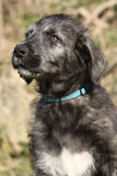 Nice Irish Wolfhound puppy Stock Image