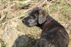 Nice Irish Wolfhound puppy in the garden Royalty Free Stock Photography