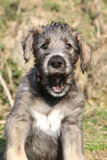 Nice Irish Wolfhound puppy looking at you Royalty Free Stock Photo