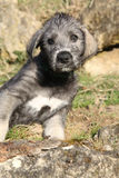 Nice Irish Wolfhound puppy looking at you Stock Images