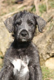 Nice Irish Wolfhound puppy looking at you Stock Photography