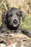 Nice Irish Wolfhound puppy looking at you Royalty Free Stock Photos