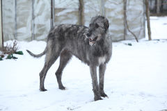 Nice Irish Wolfhound in winter garden Royalty Free Stock Images