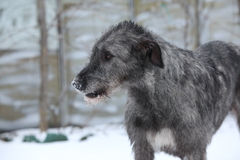 Nice Irish Wolfhound in winter garden Stock Photo
