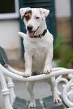 Nice Jack Russel Terrier Royalty Free Stock Photography