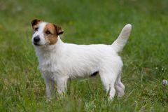 Nice Jack Russel Terrier Stock Photo