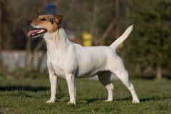Nice Jack Russel Terrier Royalty Free Stock Images