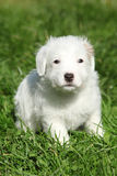 Nice jack russell terrier puppy sitting Royalty Free Stock Photo