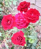 Beautiful roses in garden nice jpg picture. Nice jpg picture Beautiful roses in garden stock images