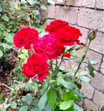 Beautiful roses in garden nice jpg picture. Nice jpg picture Beautiful roses in garden royalty free stock images