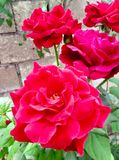 Beautiful roses in garden nice jpg picture. Nice jpg picture Beautiful roses in garden stock photos