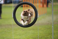 Nice jump. Of cute Border Collie. He is jumping over black agility hoop. Photography can be crop in circle with framed dog stock photography