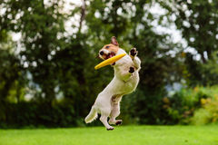 Nice jump by Jack Russell Terrier dog catching flying disk. Active dog playing on a lawn Stock Photos