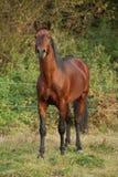 Nice kabardin horse in autumn royalty free stock photos