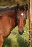 Nice kabardin horse foal eating Royalty Free Stock Images
