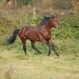 Nice kabardin horse running in autumn Royalty Free Stock Images