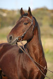Nice kabardin stallion with bridle in autumn Royalty Free Stock Images