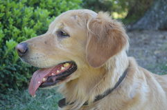 Nice and kind profile golden dog Stock Photo