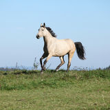 Nice Kinsky horse running in autumn Royalty Free Stock Image