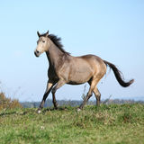 Nice Kinsky horse running in autumn Stock Images