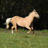 Nice Kinsky horse running in autumn Stock Photo