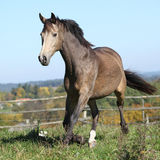 Nice Kinsky horse running in autumn Stock Photography