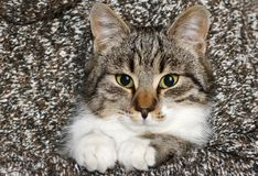 Nice kitty. Domestic cat and his scrutiny look Royalty Free Stock Images