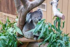 Nice Koala Bear in Forest Zoo, Hong Kong Royalty Free Stock Photos