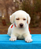 The nice labrador puppy on a blue background Stock Image