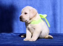 Nice labrador puppy on a blue background Royalty Free Stock Image