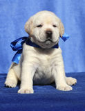 A nice labrador puppy on a blue background Royalty Free Stock Image