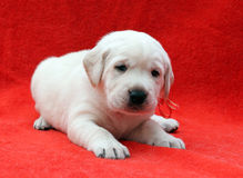 A nice labrador puppy on red background Royalty Free Stock Photos