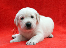 A nice labrador puppy on red background Stock Photography